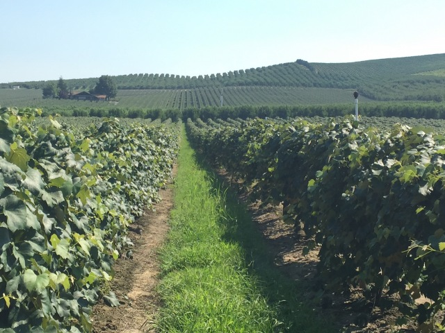 11-cover-crop-and-clean-vine-row